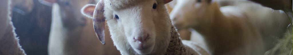 Vegan Studies Network Members sheep banner